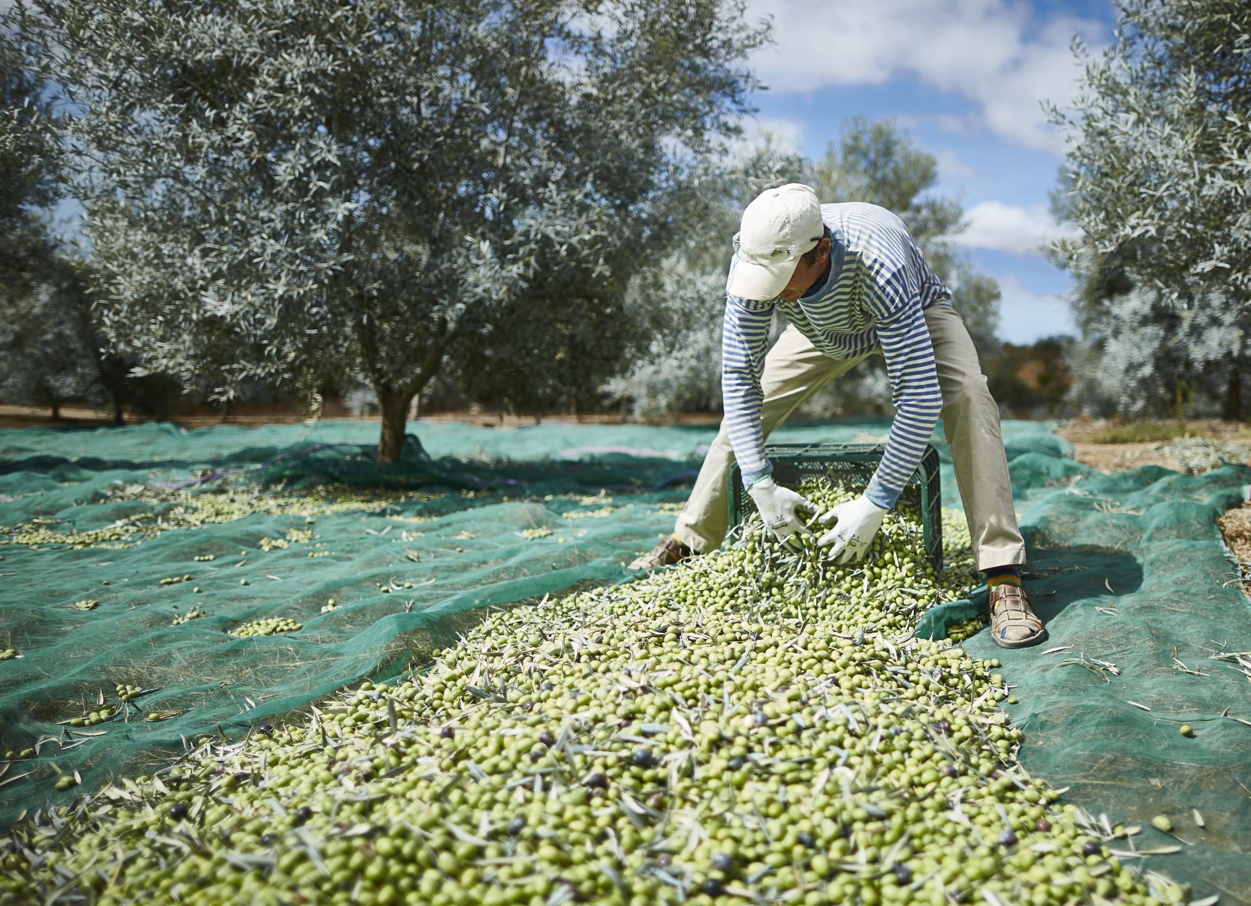 Produkcja oliwy to sztuka
